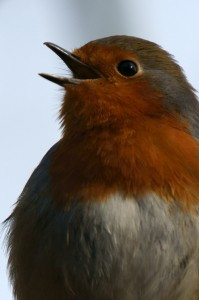 Robin singing at Leighton Moss RSPB by Gidzy