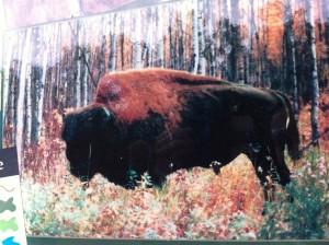 Bison, Edmonton, Elk Island National Park